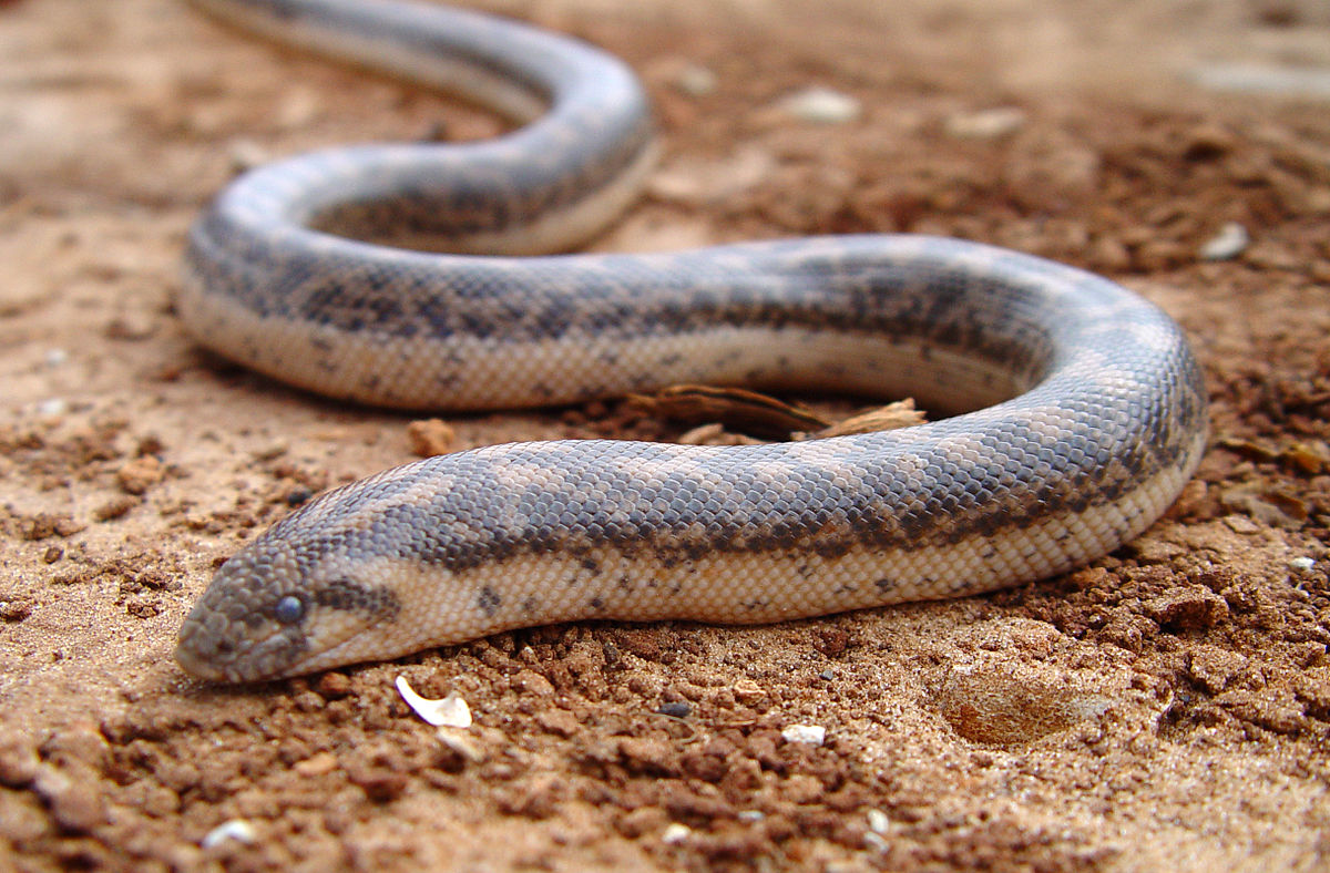 Top 12 Species of Indian Non- Poisonous Snakes - ExtraChai