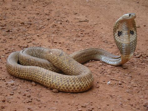 15 Popular Common Snakes Found In the India - ExtraChai