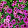 uses, dosage and side effects of echinacea